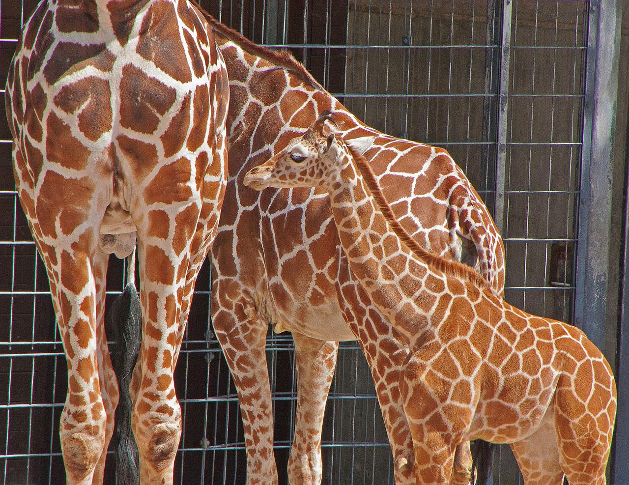 Giraffe Hanck im Zoo Wilhelma: Wir übernehmen Tierpatenschaft